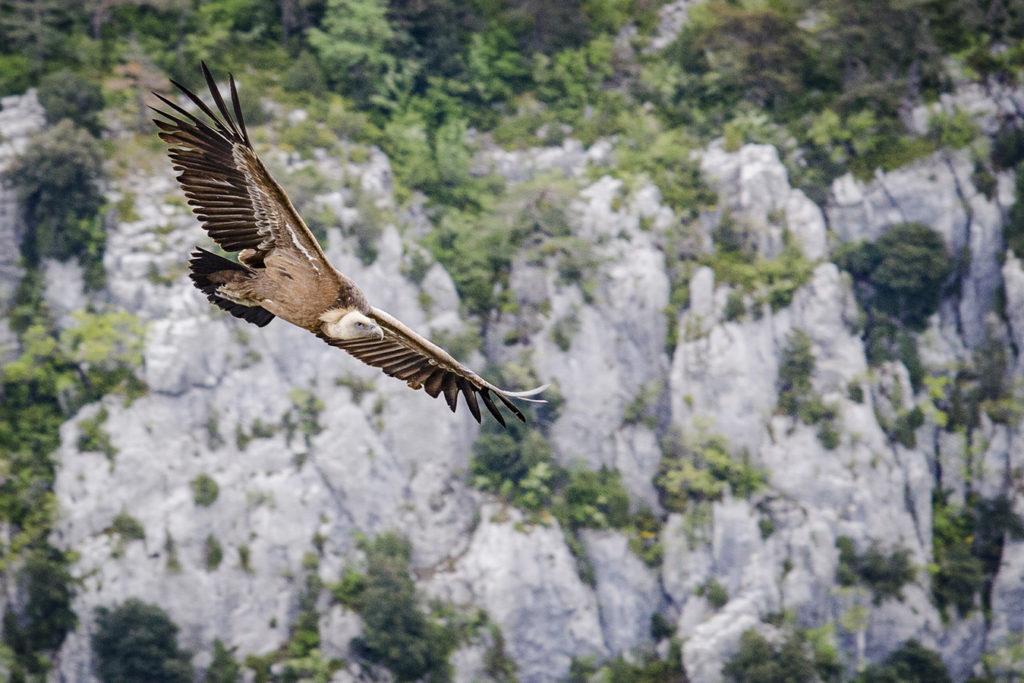 Sous l'oeil du vautour fauve